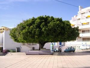 baum April2011 300x225 <!  :de  >Der bekannte Lorbeerbaum von Puerto Naos schlägt wieder aus!<!  :  >