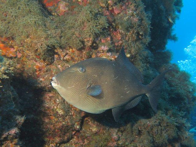 Grauer Drueckerfisch