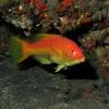 Schweinslippfisch (Bodianus scrofa)