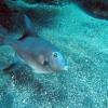Atlantischer Drueckerfisch